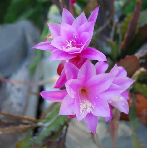 Epi Pink Shooting Star Epi Blossoms Tropical Bloom Flowers