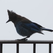 Big Sur Stellar Jay © 2010 David Coyote