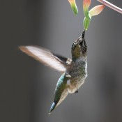 Ana's Hummingbird © 2010 David Coyote