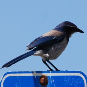 Scrub Jay � 2010 David Coyote